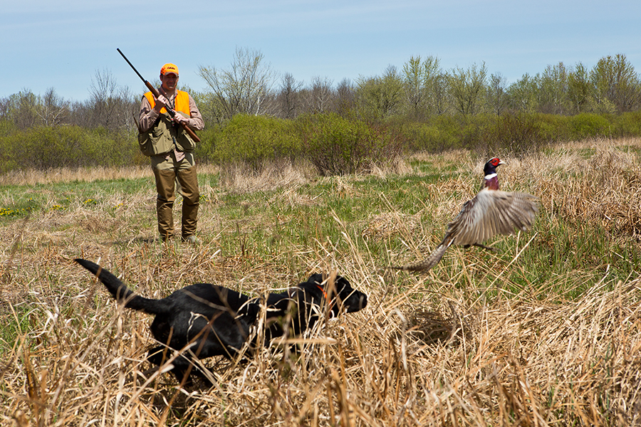 Flushing Pheasant | SportingDog Adventures