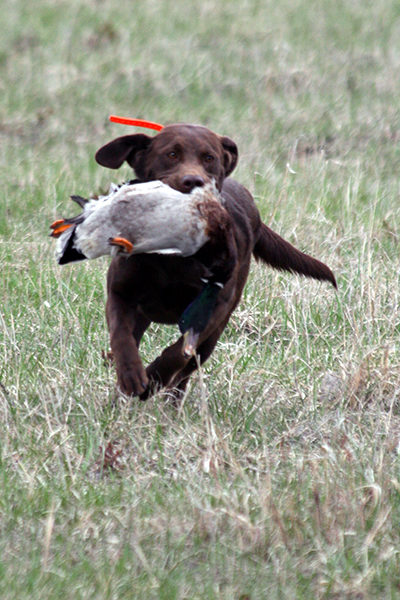 Labrador Retrieving | SportingDog Adventures