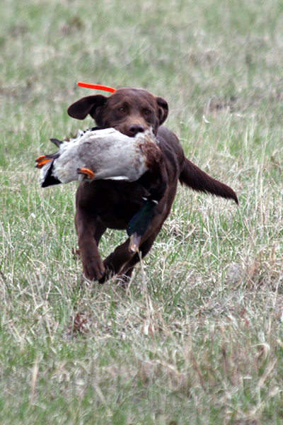 Labrador Retrieving | SportingDog Adventures