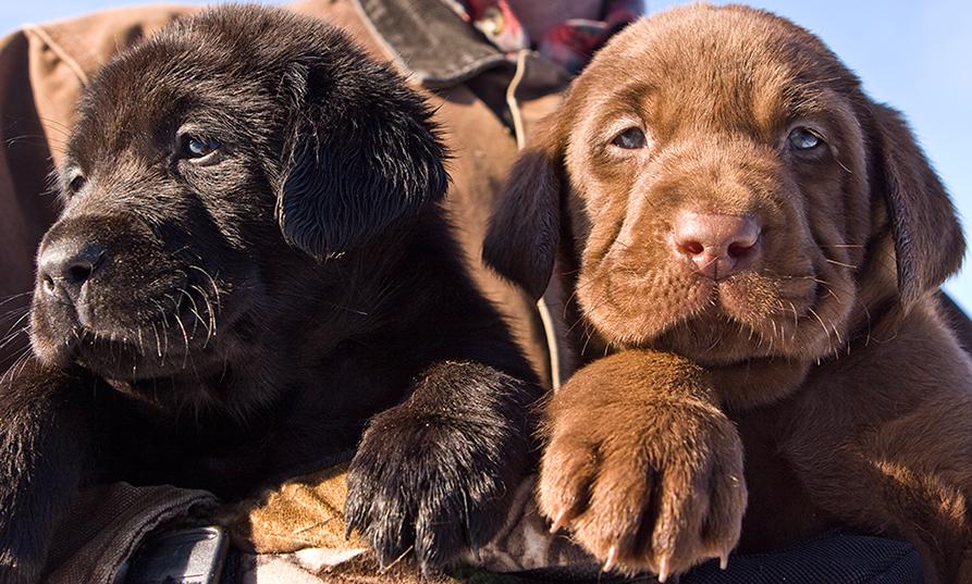 Soggy Acres Retrievers Puppies | SportingDog Adventures