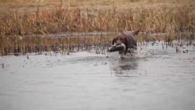 Saskatchewan Waterfowl | SportingDog Adventures