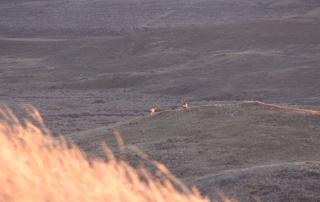 Montana Mule Deer | Cabelas SportingDog Adventures
